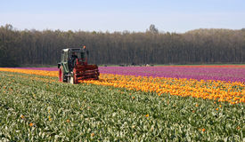 Cutting the tops of tulips at a dutch bulb farm Royalty Free Stock Photography