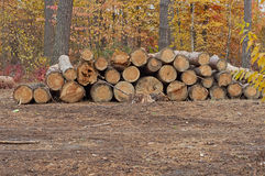 Cutting of trees Stock Photo