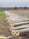 Cutting of trees, Poplars Royalty Free Stock Images