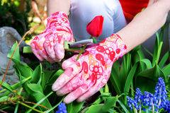 Cutting the Tulip Royalty Free Stock Image