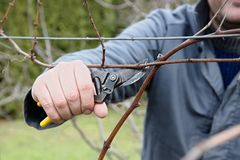 Cutting of the vine Stock Photo