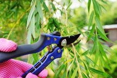 Cutting willow tree with secateurs in summer Royalty Free Stock Photo