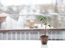 Cutting on windowsill. A little plant in a pot on a windowsill Stock Photography