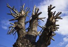 Prunned tree Stock Photo