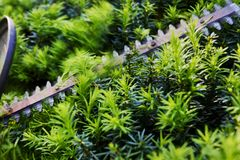 Cutting yew hedge with hedge trimmer Royalty Free Stock Image
