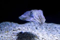 Cuttle ψάρια στοκ φωτογραφίες με δικαίωμα ελεύθερης χρήσης