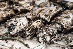 Cuttle fish at the fish market Stock Image