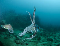 Cuttle fish swimming Stock Image
