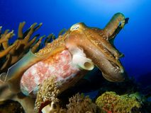 Cuttle me. stock photography