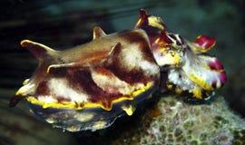 cuttlefish цветистые стоковые фото