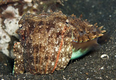 Cuttlefish Royalty Free Stock Photo