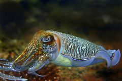 Cuttlefish. At Palong divesite, Phi Phi, Thailand royalty free stock image