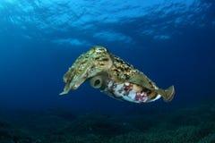 cuttlefish Стоковые Фотографии RF