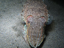 Cuttlefish Stock Photography