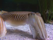 Cuttlefish. A big cuttlefish close up swiming in her natural habitat Royalty Free Stock Photo