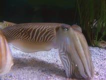 cuttlefish Стоковое фото RF