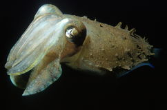 Cuttlefish stock image