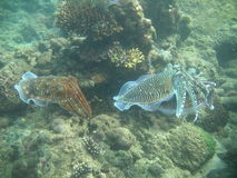 Cuttlefish. Molluscs on the seabed stock photo
