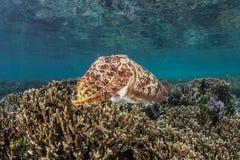 Cuttlefish 1 Zdjęcie Royalty Free