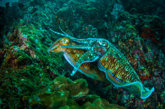 cuttlefish Obrazy Royalty Free