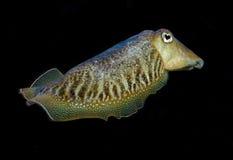cuttlefish Стоковая Фотография