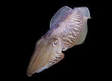 Cuttlefish Royalty Free Stock Images