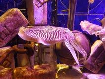 Cuttlefish in the aquarium. Cuttlefish in the big aquarium Royalty Free Stock Images