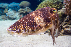 Cuttlefish in aquarium Royalty Free Stock Photography