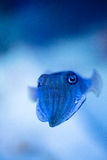 Cuttlefish Royalty Free Stock Photos