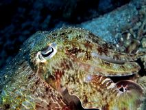 Cuttlefish Closeup Stock Photo