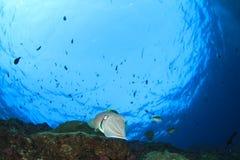 Cuttlefish Royalty Free Stock Photos