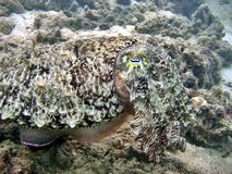 Cuttlefish in Disguise Stock Images