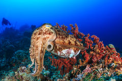 Cuttlefish and diver royalty free stock images