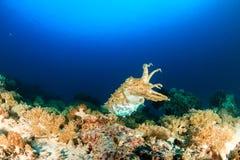 Cuttlefish at dusk.  Komodo Stock Photos