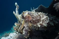Cuttlefish. A cuttlefish emerges from its shelter Stock Images