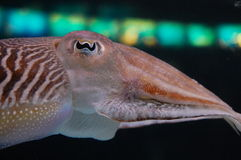 Cuttlefish. The eye of Cuttlefish in sea Royalty Free Stock Image