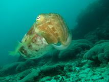 Cuttlefish. Hovering above reef. Gili Islands, Indonesia stock image