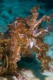 Cuttlefish Indonesia Sulawesi. Cuttlefish on reef Indonesia Sulawesi Stock Photography