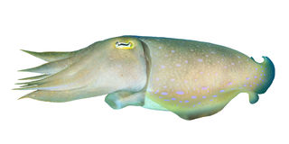 Cuttlefish. Isolated on white background Stock Photography