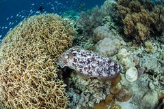 Cuttlefish Laying Eggs in Fire Coral Colony stock photo