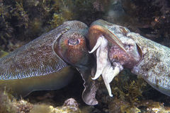 Cuttlefish Mating Royalty Free Stock Photo
