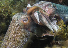 Cuttlefish Mating Stock Photo