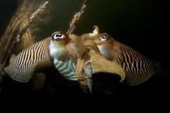 Cuttlefish mating Oosterschelde Netherlands Stock Photo