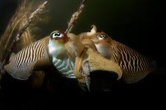 Cuttlefish mating Oosterschelde Netherlands. Cuttlefish mating in dark water in front of nest Oosterschelde Netherlands Stock Photo