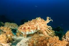 Cuttlefish Royalty Free Stock Image