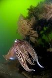 Cuttlefish Oosterschelde Netherlands. Cuttlefish in front of nest and eggs Oosterschelde Netherlands Stock Image