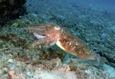 Cuttlefish, Perhentian Island, Terengganu Royalty Free Stock Photography