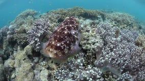 Cuttlefish in Raja Ampat stock video