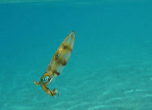 Cuttlefish in the Red sea, Eilat Royalty Free Stock Photography