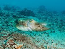 Cuttlefish on a reef Royalty Free Stock Photography